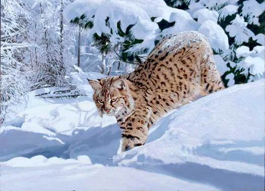 Snow Leopart - Tom Beecham